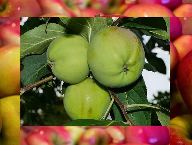 зеленые яблоки при ГВ